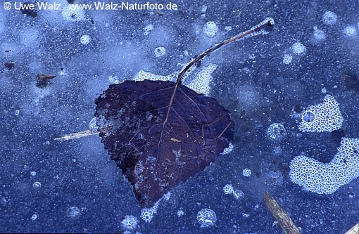 Leaf in the ice frozen