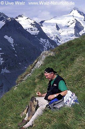 Alpine Marmot with Mountain Großgockner