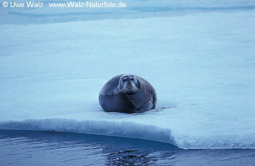 Bearded Seal - Square Flipper