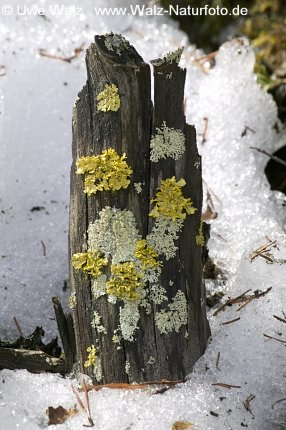 Stump with lichen