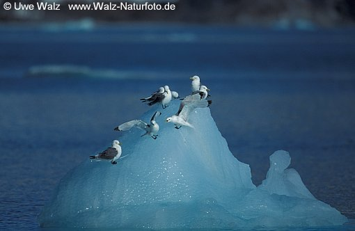Kittiwake resting on iceberg