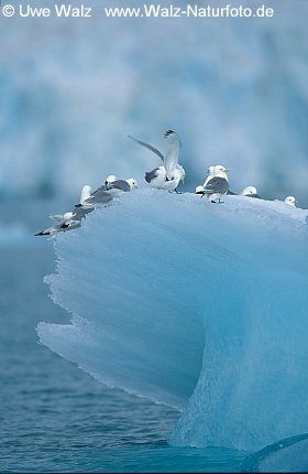 Kittiwake resting on iceberg