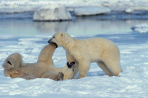 Polar Bear - playing
