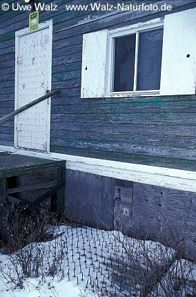 Polar Bear - House with nails