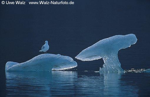 Glaucous Gull of iceberg sculpture