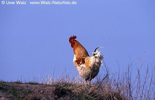 Domestic Fowl