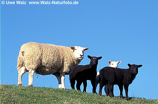 Domestic Sheep