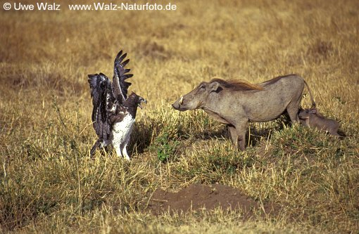 Martial Eagle & Desert Wart Hog