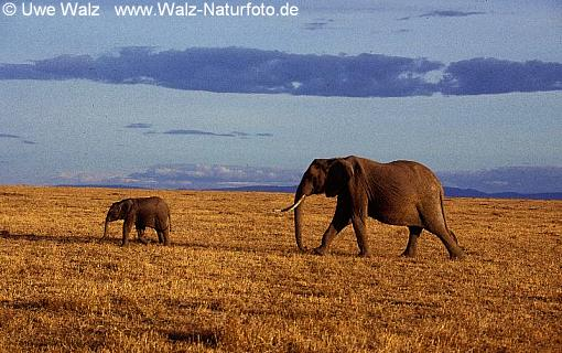 African Elephant with cub