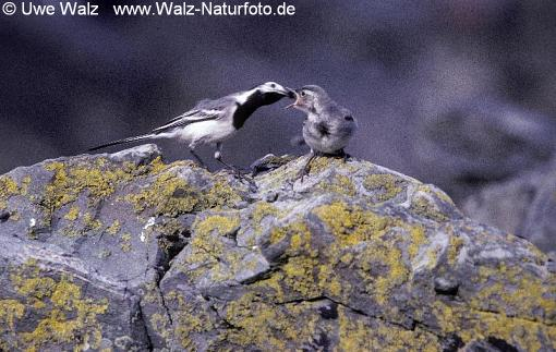 White Wagtail with chick