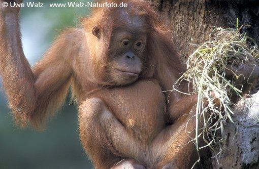 Sumatran Orang-utan