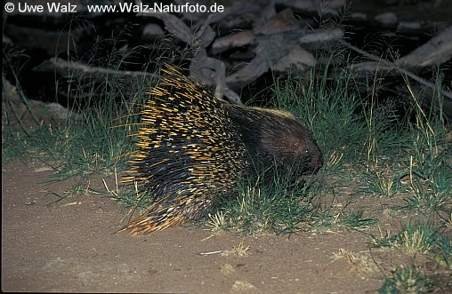 Southern African Crested Porcupine