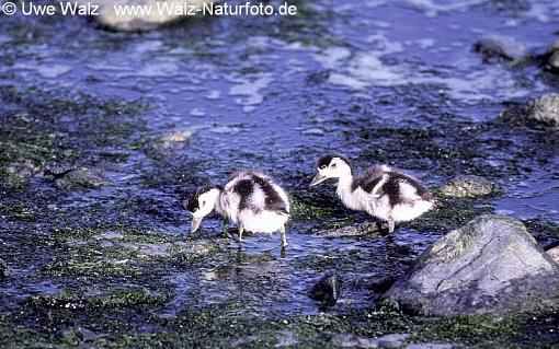 Shelduck- chicks