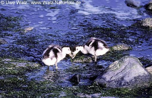 Shelduck- chicks