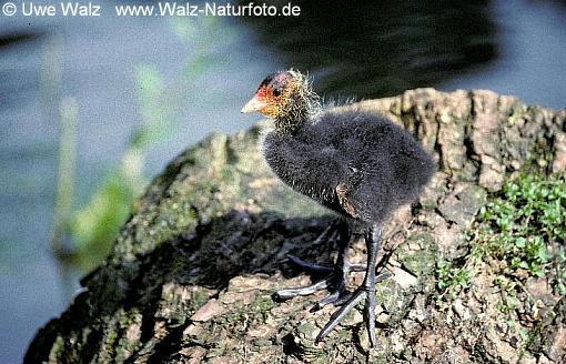 Coot- chick
