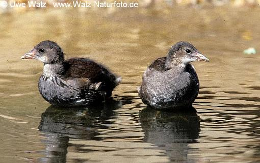 oot- chicks