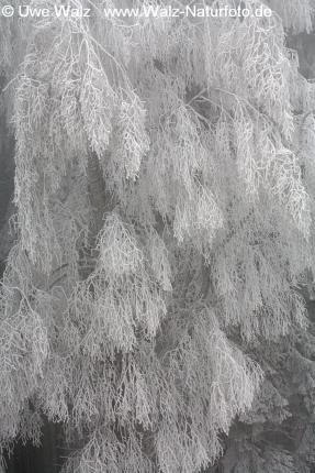 Birch bough with ice crystals