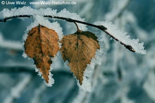Birch leaf with ice crystals