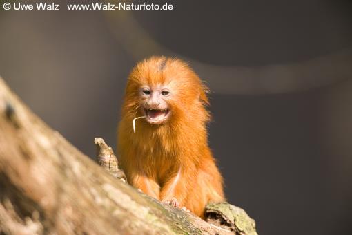 Golden Lion Tamarins