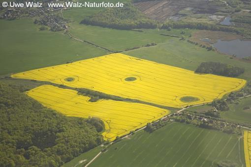 Field with rape Flora