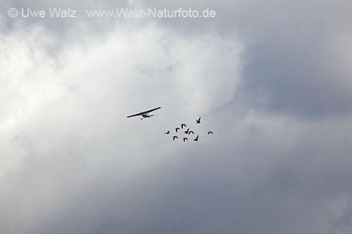 Light airplane and Greylag goose