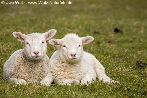 Domestic Sheep, lambs