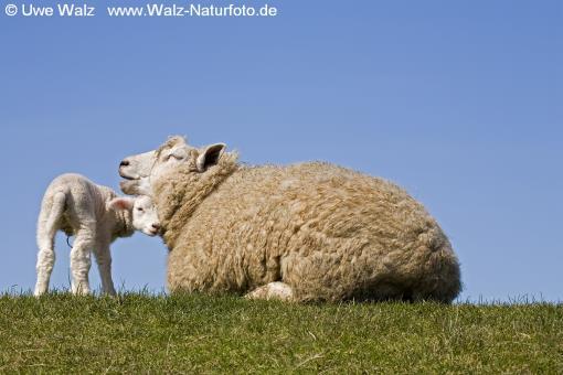 Domestic Sheep with lamb