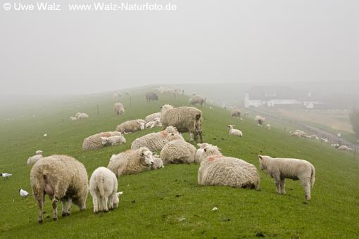 Domestic Sheep in the fog