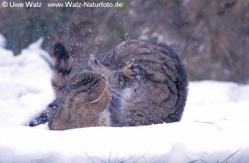 Common Wild Cat -  fighting