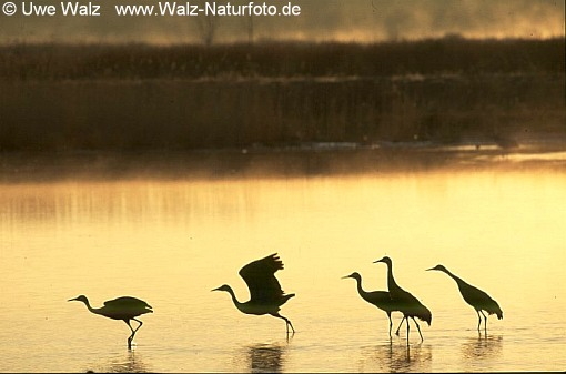 Greater Sandhill Crane in sunrise