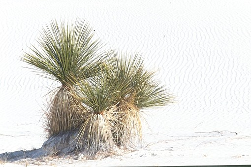 Yucca Tree Soap