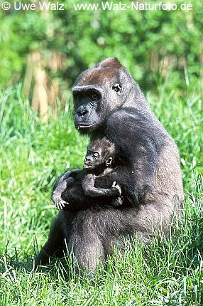 Gorilla with cub, 10 weeks old(captive)