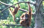 Sumatran Orang-utans with cup