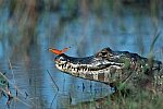 Yacare Caiman and Flambeau Butterfly