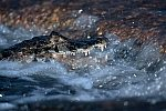 Yacare Caiman, fishing