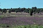 Heathland Lüneburger Heide