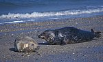 Grey Seal - Horse Head Seal , playing
