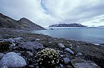 Tufted saxifrage & Blomstrand Glacier