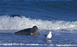 Grey Seal - Horse Head Seal & Heering Gull