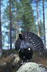 Capercaillie (grouse)