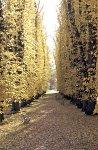 Beech Avenue in autumn