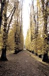 Beech Avenue in autumn