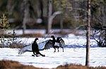 Black Grouse-fighting