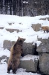 Brown Bear & Red Fox,