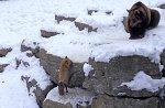Brown Bear & Red Fox,