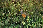 Gray - Necked Wood - Rail