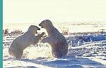 Polar Bear - fighting