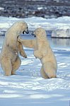 Polar Bear - fighting