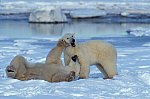 Polar Bear - playing