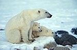 Polar Bear with cubs